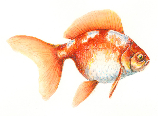 Colored Pencil Fish fish - andrew leach projects